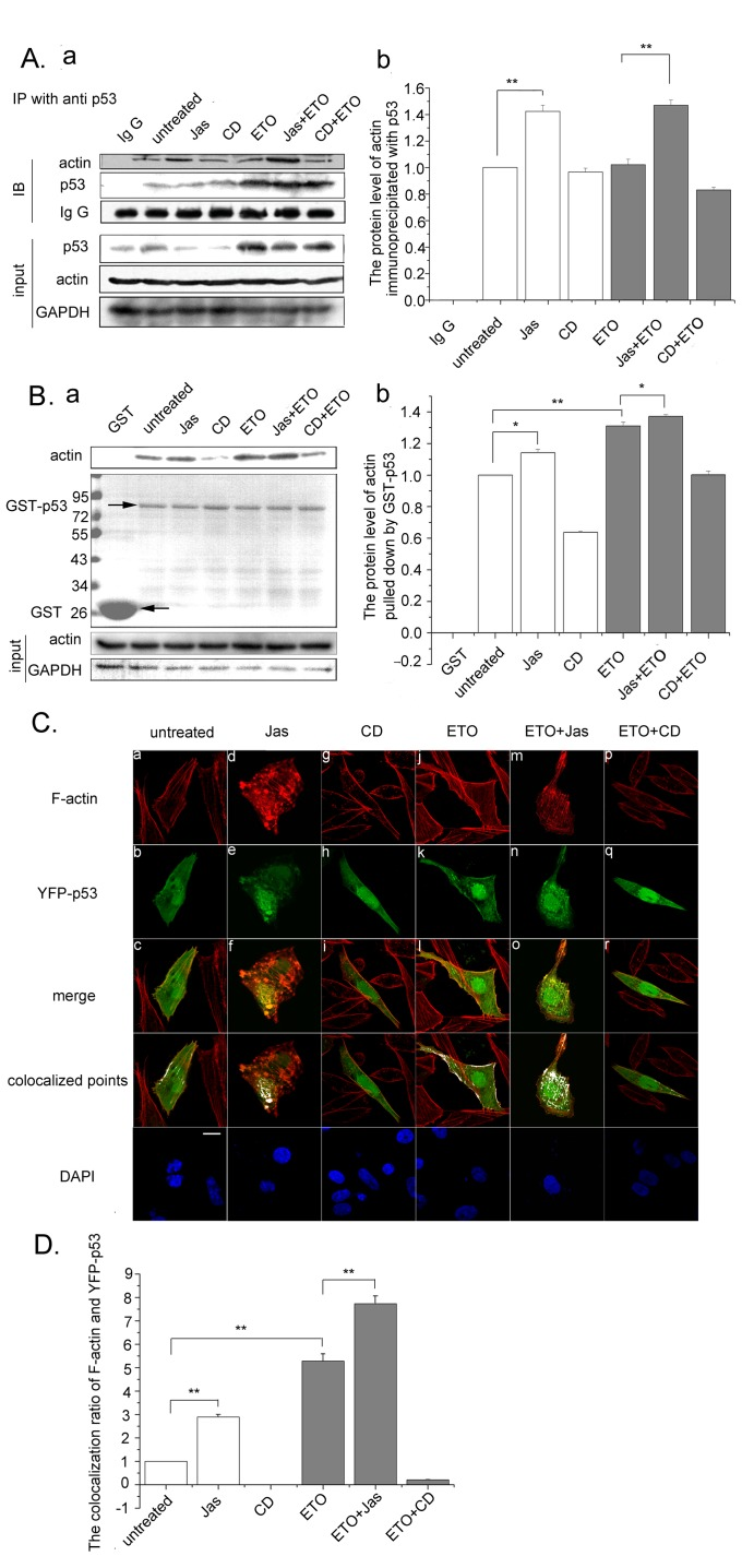 p53 binds to polymeric actin in the cytoplasm. A. U2OS cells were treated with Jas (50 nM) or CD (0.01 µg/ml) for 2 h and followed with ETO (10 µM) treatment for another 12 h. The cells were then harvested and subjected to immunoprecipitations using anti-p53 antibody and analyzed by western blotting (a). Western blottings of immunoprecipitated actin were analyzed using Image J software. Results are presented as means ± SD of values from three independent experiments (b). B. U2OS cells were treated with Jas (50 nM) or CD (0.01 µg/ml) for 2 h and treated with or without ETO (10 µM) for another 12 h. The cells were then harvested and the whole cell extracts were incubated with GST or recombinant GST-p53. The bound proteins were analyzed by western blotting with anti-actin antibody (top panel). GST and GST–p53 were stained with Coomassie Blue (middle panel). Arrows show the position of GST and GST–p53. Whole cell extracts were immunoblotted with antibody against GAPDH to confirm equal loading (bottom panel) (a). Western blottings of actin were analyzed using Image J software. Results are presented as means ± SD of values from three independent experiments (b). C .U2OS cells were treated with Jas (50 nM) or CD (0.01 µg/ml) for 2 h before YFP-p53 transfection. Twenty-four hours after YFP-p53 transfection, cells were treated with ETO (10 µM) for another 12 h or untreated as control and analyzed by confocalmicroscopy (a). Scale bar, 10 µm. The colocalization ratio of F-actin and YFP-p53 of more than 100 cells were calculated using Image J software. Results are presented as means ± SD of values from three independent experiments (b). All Statistical differences were determined by One-way ANOVA. *, P