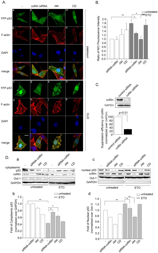 Actin polymerization impairs p53 nuclear import. A. Cells were transfected with siRNA-cofilin or treated with Jas (50 nM) or CD (0.01 µg/ml) for 2 h before YFP-p53 transfection. 24 h after YFP-p53 transfection, cells were treated with ETO (10 µM) or untreated for another 12 h. Cells were then analyzed by confocalmicroscopy. Scale bar, 10 µm. B. Fluorescence values of more than 100 cells were calculated using Image J software. Results are presented as means ± SD of values from three independent experiments. C . Cells were transfected with control siRNA or cofilin siRNA, whole cell protein extraction and western blotting were then carried out to detect cofilin suppression efficiency. Panels of western blotting were analyzed with Image J software. Results are presented as means ± SD of values from three independent experiments. D. Cells were transfected with siRNA-cofilin or treated with Jas (50 nM) or CD (0.01µg/ml) for 2 h before cells were treated with ETO (10 µM) or untreated as control for another 12 h. Cytoplasmic protein and nuclear proteins were then extracted, and western blotting was performed. Oct-1 (octamer transcription factor 1) was used as nuclear protein marker and GAPDH was used as cytoplasmic protein marker (a and c). Panels of western blotting were analyzed with Image J software. Results are presented as means ± SD of values from three independent experiments (b and d). All Statistical differences were determined by One-way ANOVA. *, P