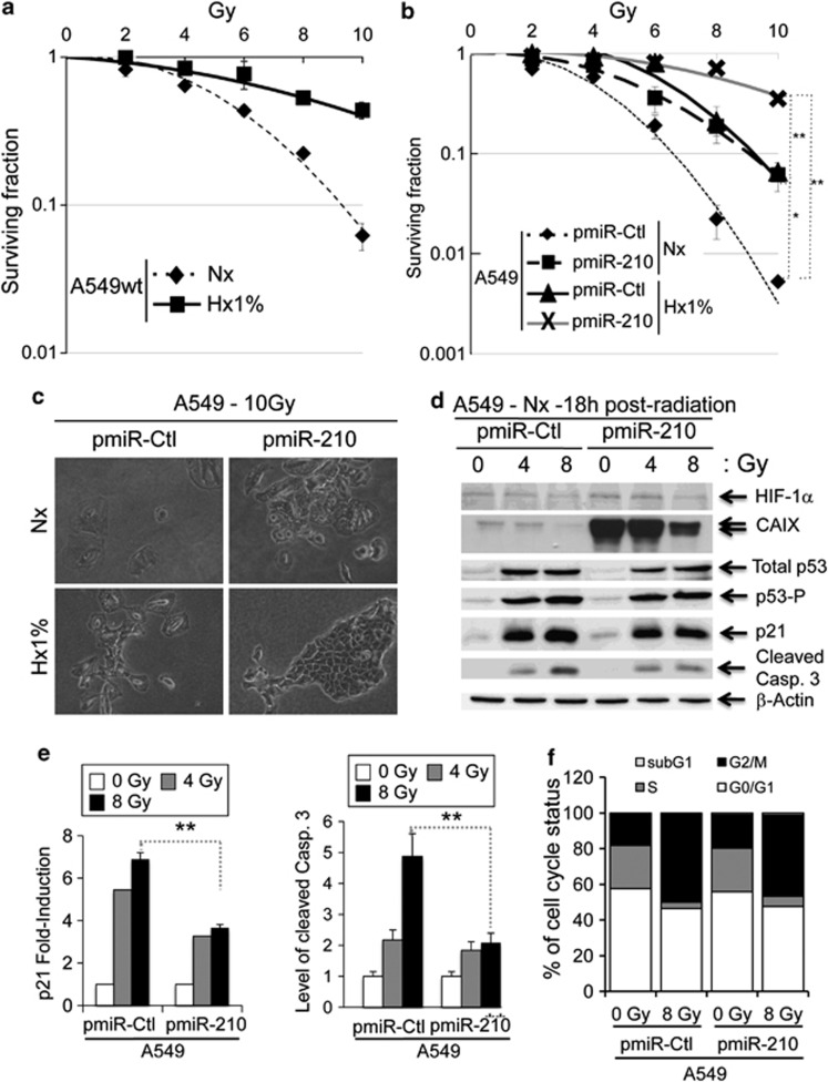 Radioresistance of pmiR-210 A549 cells. ( a ) Radioresistance of wild-type A549 (A549wt) cells cultured for 2 days in normoxia (Nx) and in hypoxia 1% O 2 (Hx1%), and treated with the indicated dose of radiation. Cells were then subjected to a clonogenic cell survival assay. In x axis is the dose of X-radiation. In y axis is the surviving fraction. Mean±S.E.M. is representative of two independent experiments carried out in duplicate. ( b ) Radioresistance of both pmiR-Ctl and pmiR-210 A549 cells cultured for 2 days in normoxia (Nx) and hypoxia 1% O 2 (Hx1%). The cells were then subjected to a clonogenic cell survival assay. In x axis is the dose of X-radiation. In y axis is the surviving fraction. Mean±S.E.M. is representative of three independent experiments carried out in duplicate for a + b . ( c ) Cell morphology from microscope images of pmiR-Ctl and pmiR-210 A549 cells cultured for 2 days in normoxia (Nx) and hypoxia 1% O 2 (Hx1%), treated with 10 Gy and subject to clonogenic cell survival. ( d ) Immunoblotting of HIF-1 α , CAIX, total p53, p53-P, p21, cleaved caspase-3 (cleaved Casp.3) and β -actin in pmiR-Ctl and pmiR-210 A549 cells in normoxia (Nx) 18 h after irradiations (0, 4 and 8 Gy). ( e ) Histograms show the quantification of the p21 and the cleaved caspase-3 bands. Mean±S.E.M. is representative of three independent experiments. ** P