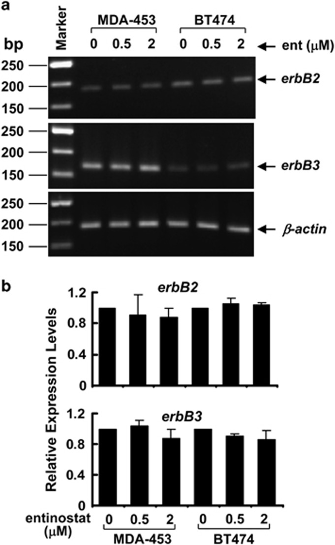 Treatment with entinostat does not affect mRNA levels of both erbB2 and erbB3 in breast cancer cells. MDA-MB-453 (MDA-453) and BT474 cells untreated or treated with entinostat (ent) at indicated concentrations for 24 h were subjected to total RNA extraction. ( a ) First-strand cDNA was synthesized using a reverse transcription kit from Applied Biosystems. The partial coding sequence of erbB2 , erbB3 , or β-actin was amplified with specific primers. The PCR products were separated on a 2% agarose gel containing ethidium bromide and visualized under a UV light. ( b ) The mRNA levels of erbB2 and erbB3 were measured by qRT-PCR. Bars, S.D. The data are representative of three independent experiments