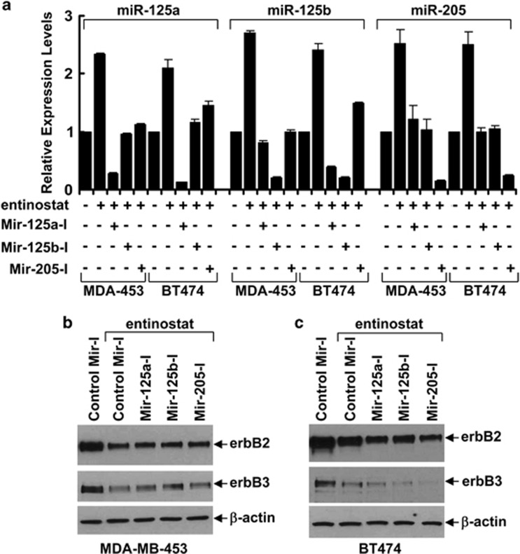Inhibition of single miRNA has no effect on entinostat-mediated downregulation of erbB2 and erbB3 in breast cancer cells. MDA-MB-453 (MDA-453) and BT474 cells were transfected with either control miRNA inhibitor no. 1 or the indicated miRNA inhibitor (60 nmol/l each). After 24 h, the cells were then untreated or treated with entinostat (1.5 μ mol/l) for another 24 h. ( a ) Half of the cells were collected and subjected to total RNA extraction, inclusive of the small RNA fraction. The expression levels of miR-125a, miR-125b, and miR-205 were measured by qRT-PCR using TaqMan miRNA assays. RNU6B was used as an internal control. Bars , S.D. Data shows the representative of three independent experiments. ( b ) Another half of the cells were collected and subjected to western blot analyses with specific antibody directed against erbB2, erbB3, or β -actin