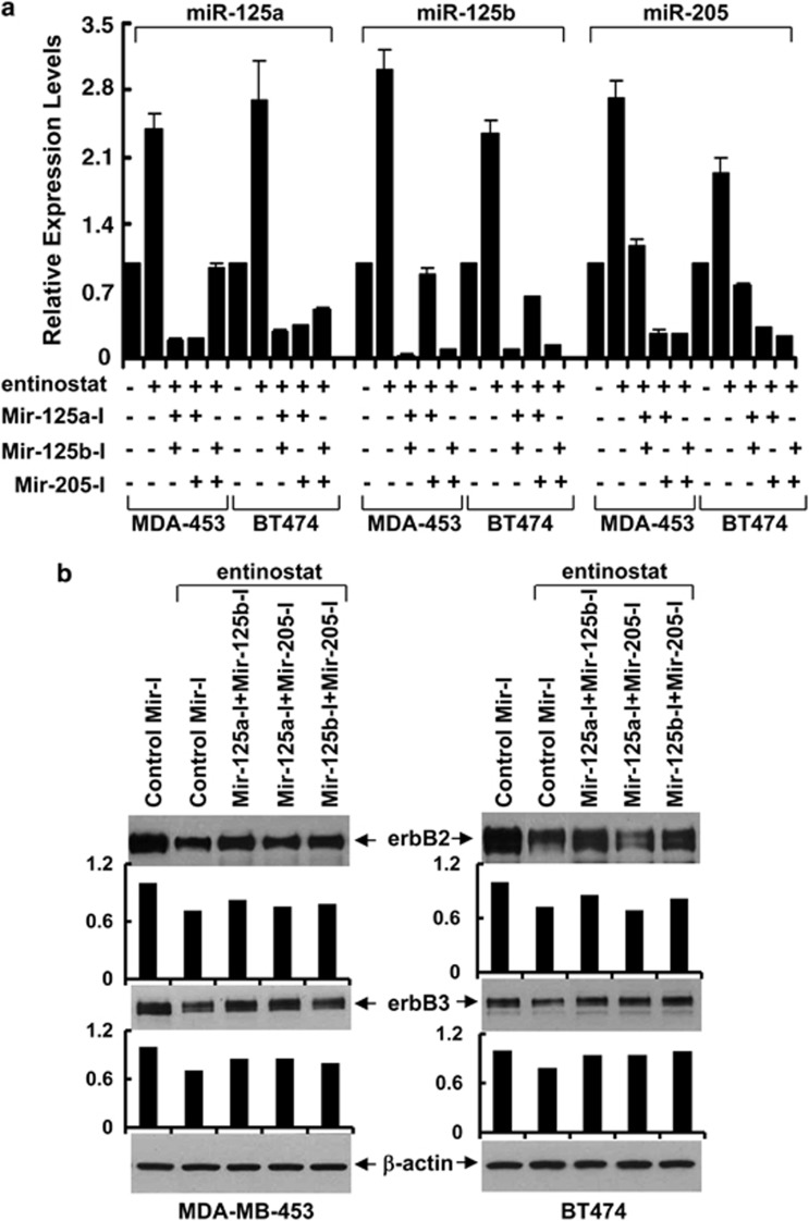 Simultaneous inhibition of two miRNAs reduces entinostat-mediated downregulation of erbB2 and erbB3 in breast cancer cells. MDA-MB-453 (MDA-453) and BT474 cells were transfected with combinations of either the two control miRNA inhibitors no. 1 and no. 2 or the two indicated miRNA inhibitors (60 nmol/l each). After 24 h, the cells were then untreated or treated with entinostat (1.5 μ mol/l) for another 24 h. ( a ) Half of the cells were collected and subjected to total RNA extraction, inclusive of the small RNA fraction. The expression levels of miR-125a, miR-125b, and miR-205 were measured by qRT-PCR using TaqMan miRNA assays. RNU6B was used as an internal control. ( b ) Another half of the cells were collected and subjected to western blot analyses with specific antibody directed against erbB2, erbB3, or β -actin. The bar graph underneath was obtained by densitometry analysis. The relative signal intensities of erbB2 or erbB3 were measured by the Bio-Rad Gel Documentation System. Bars, S.D. The data are representative of three independent experiments