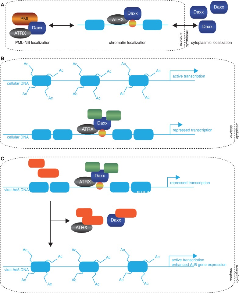Model for Ad5-mediated restriction of cellular Daxx/ATRX chromatin remodelling complexes. ( A ) A schematic representation of known cellular Daxx localizations in human cells. Nuclear Daxx is associated with either PML-NBs or ATRX at heterochromatin foci. Daxx ability to repress transcription is inhibited by its localization to the PML-NB ( 82 ). Cytoplasmic Daxx has been reported to be involved in cell death ( 56 , 83 ). ( B ) Daxx is reported to bind ATRX via two paired amphipathic helices. ATRX acts as the core ATPase subunit in this complex, whereas Daxx is the targeting factor, leading to deacetylation of histone tails (HDAC) and histone variant H3.3 depositioning resulting in transcriptional repression of target promoters. As the Daxx protein has no DNA binding region, ATRX is thought to be the molecular bridge connecting chromatin with Daxx bound to Daxx-interacting sequence-specific transcription factors (yellow sphere). ( C ) Daxx/ATRX repressive complexes assemble on viral genomes. Efficient transcription of Ad5 gene products necessitates inhibiting Daxx repressive complexes and/or preventing their assembly. Binding of E1B-55K triggers Daxx degradation via a proteasome, whereas ATRX restriction additionally requires the E4orf6 protein. These processes displace the repressive Daxx/ATRX complex from the viral genome, relieving negative regulation of Ad transcription.