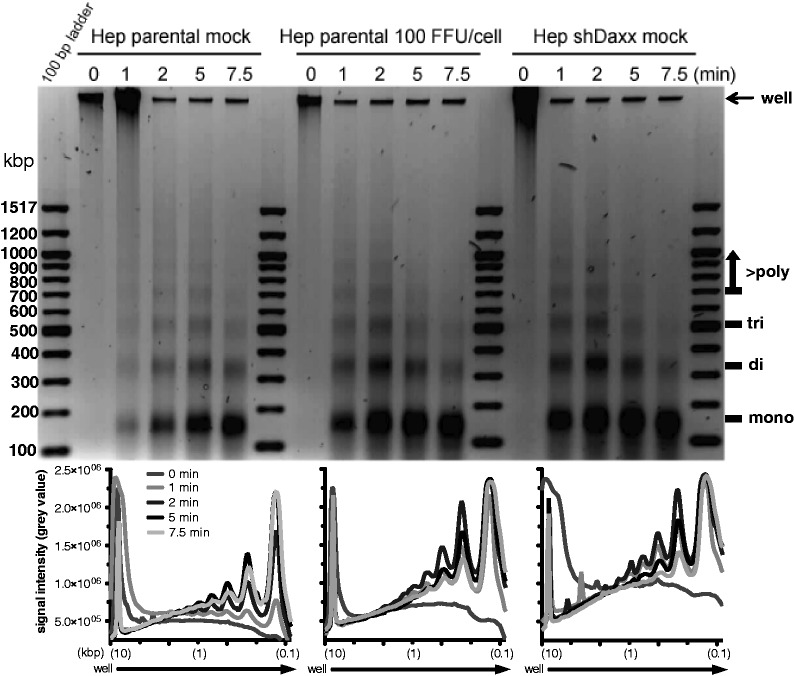 MNase nuclease accesibility assay to monitor Daxx/ATRX-mediated modulation of chromatin structure. Hepa RG cells were either untreated or infected with H5 pg 4100 Ad5 wild-type at moi of 100 FFU/cell for 24 h. Chromatin sensitivity assays were performed using digestion with 20 U of MNase for the indicated periods followed by an RNase treatment. Digested chromatin was analysed on a 1.4% agarose gel using the G-Box system and Gene-Tools software ( Syngene ). Band intesities were quantified with ImageJ and analysed with GraphPad Prism software. Mono-, di-, tri and poly-nucleosomes are indicated on the right.