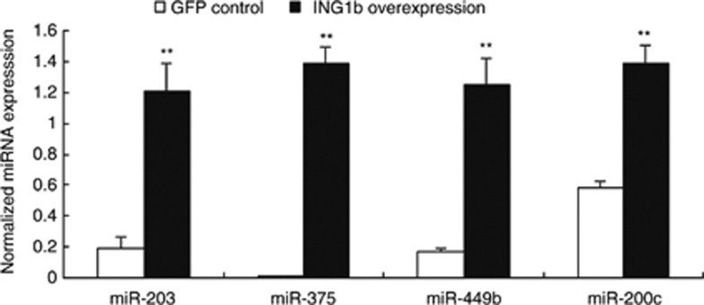 Real-time PCR confirmation of miRNA expression in response to ING1b. The expression of miR-203, miR-375, miR-449b and miR-200c in Hs68 cells in response to ING1b overexpression for 48 h, was determined by quantitative real-time PCR assays. Bars represent the mean±s.e.m (** P