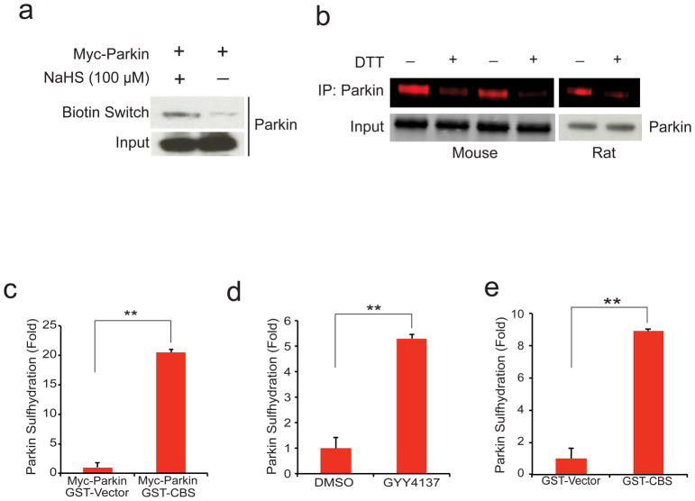 Parkin is physiologically sulfhydrated ( a ) Parkin expressed in HEK293 cells is sulfhydrated by the H 2 S donor NaHS as detected by the modified biotin switch method. ( b ) Endogenous parkin is basally sulfhydrated in both mouse brain and rat striatum as detected by the maleimide assay in which loss of red fluorescence signal following DTT treatment indicates sulfhydration of the protein. ( c ) Sulfhydration of myc-parkin overexpressed in HEK293 cells is enhanced almost 20 fold upon overexpression of GST-CBS, one of the principle H 2 S producers in the brain. n=3, P