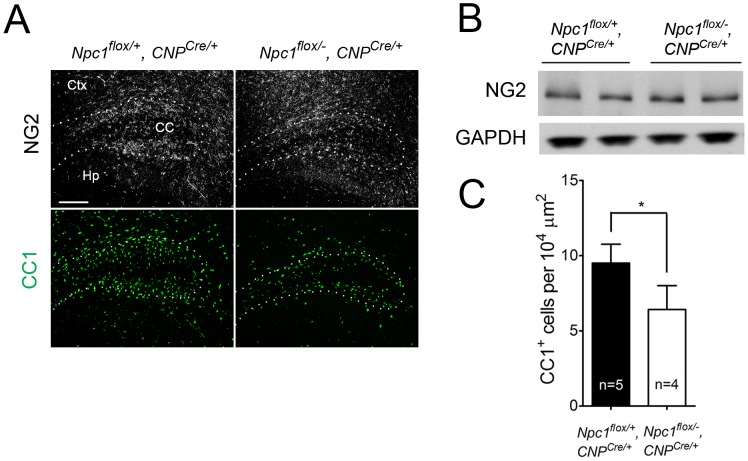 Oligodendrocyte-specific deletion of Npc1 leads to blockade of oligodendrocyte maturation. (A) <t>NG2</t> (to mark OPCs) and CC1 (to mark mature oligodendrocytes) staining in the cortex and corpus callosum of P16 Npc1 flox/− , CNP Cre/+ and control mice. Ctx, cortex; CC, corpus callosum; Hp, hippocampus. Bar, 200 µm. (B) Western blot of NG2 expression levels from cerebral cortex homogenates of P16 Npc1 flox/− , CNP Cre/+ mice and controls. <t>GAPDH</t> controls for loading. (C) Quantification of CC1 + cell number in the corpus callosum of P16 Npc1 flox/− , CNP Cre/+ mice and controls. Data are mean +/− SD. * P