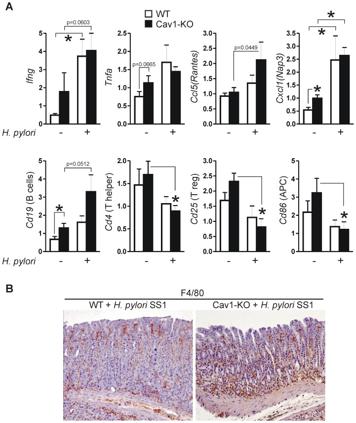 Loss of Cav1 promotes recruitment of macrophages to stomachs infected with H. pylori SS1. (A) Differential expression of mRNAs in mouse gastric tissue upon an 11-month infection with H. pylori strain SS1. CT-values from RT-qPCRs on total RNA extracted from resected stomachs were normalized to beta-2-microglobulin (b2M) and are presented as mean ± S.E. (n = 15 per group); *p