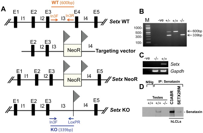 Targeted disruption of the mouse Setx gene. A. Diagram of the Setx wild type allele (WT), targeting vector, and mutant alleles (neo+ and KO). Primers used for <t>PCR</t> genotyping (In3F, In3R, LoxPR) and the length of the PCR fragments obtained for WT (In3F and In3R yielding a 600 bp product) and KO (In3F and LoxpR yielding a 339 bp product) are indicated. E, exon; I, intron. NeoR represents the neomycin cassette, and triangles the loxP sites. B. Representative image of PCR genotyping using In3F, In3R and LoxPR primers. Wild type (+/+), heterozygotes (+/−) and knockout (−/−) alleles generate PCR products of 600 bp, 600 bp and 339 bp, and 339 bp, respectively. A negative control for the PCR reaction (−ve) is also shown. M, 100 bp marker. C. RT-PCR of 35 day-old mice testes samples using primers specific to Setx <t>cDNA</t> indicates the absence of Setx expression in KO testes. GAPDH was used as an internal standard. D. Immunoprecipitation of senataxin using anti-human senataxin antibodies (Ab-1/Ab-3) from 35 day-old mouse testes extracts confirmed the absence of the protein in the Setx −/− . Immunoprecipitation of senataxin from human lymphoblastoid cell extracts from normal (C3ABR) and an AOA2 patient (SETX2RM) confirmed the similar size of senataxin in both species. A species-matched non-specific serum (NSIg) was used as a negative control in for the IP experiments. As expected, no senataxin protein was brought down from Setx +/+ testes following the IP with the non-specific serum (NSIg).