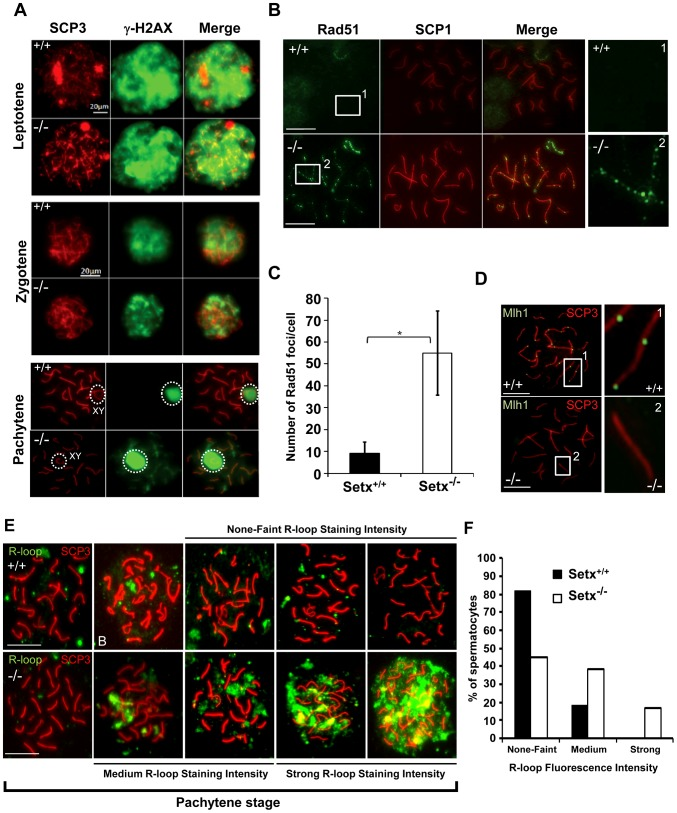 Defective meiotic recombination and crossover formation in infertile Setx −/− males. A. Initiation and repair of programmed DNA DSB as shown by <t>γH2AX</t> staining of spermatocytes spreads of Setx +/+ and Setx −/− adult mice. At pachytene, γH2AX staining is restricted to the XY chromosomes (circle) in Setx +/+ spermatocytes, whereas some γH2AX foci remained on asynapsed autosomes indicating persistence of unrepaired DSB in Setx −/− . Normal γH2AX staining of the XY chromosomes (circle) was observed in both Setx +/+ and Setx −/− pachytene stage spermatocytes. Scale bar, 20 µm. XY, sex chromosomes. B. Persistence of Rad51 foci at pachytene stage in Setx −/− spermatocytes indicating the presence of unrepaired DSBs (compare 1 and 2). Scale bar, 20 µm. C. Quantitation of Rad51 foci revealed a 6-fold increase in the number of Rad51 foci at pachytene stage in Setx −/− as compared to Setx +/+ (Student's t-test, n = 50), * indicates p