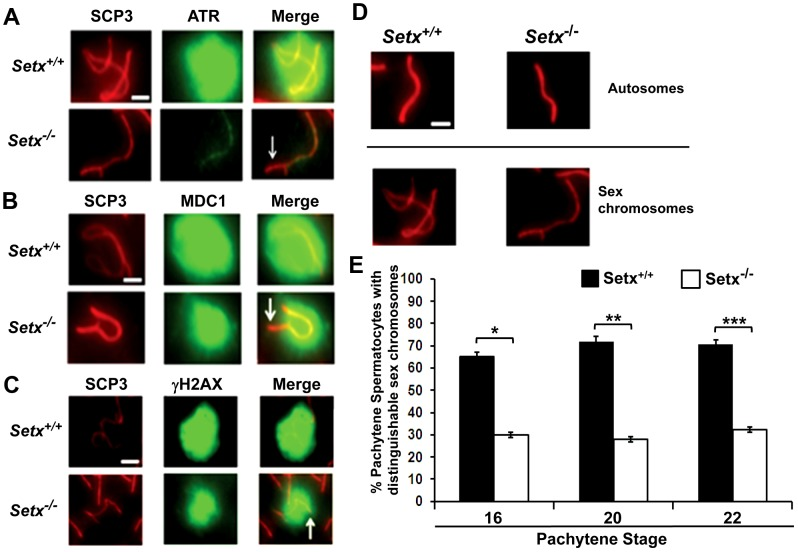 Defective localisation and diffusion of DNA damage response proteins in Setx −/− . A. Absence of ATR diffusion over the XY chromatin domain in Setx −/− compared to Setx +/+ . Scale bar, 5 µm. B. Incomplete diffusion of MDC1 over the XY chromatin domain in Setx −/− , as indicated by the white arrow. Scale bar, 5 µm. C. Reduced intensity and diffusion of γH2AX staining on the XY chromosomes in Setx −/− compared to Setx +/+ . D. Altered XY chromosomes structure and formation in Setx −/− as shown by SCP3 staining. Scale bar 5 µm. E. Percentage of Setx +/+ and Setx −/− pachytene spermatocytes at days 16, 20 and 22 with clearly distinguishable XY chromosomes. At every time point, a significant higher percentage of distinguishable XY chromosomes was observed in Setx +/+ (p