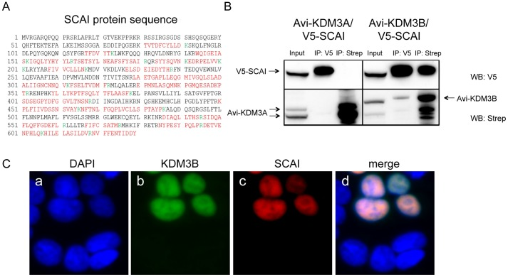 SCAI is a specific interactor candidate of KDM3B. (A) SCAI protein sequence with the peptides identified by MS highlighted in red. The amino acids marked in green indicate trypsin cleavage sites. SCAI sequence coverage by MS was 51%. (B) Reciprocal co-immunoprecipitation of SCAI and KDM3B. V5-SCAI was either co-expressed with Avi-KDM3A or Avi-KDM3B. Reciprocal co-immunoprecipitations using V5- antibodies or streptavidin-coated beads were performed and the immunoprecipitated proteins from each immunoprecipitation were separated on SDS gels. A V5-antibody and streptavidin-HRP were used to detect SCAI and KDM3A or KDM3B, respectively. Only KDM3B but not KDM3A co-precipitated with and was able to precipitate V5-SCAI, respectively. (C) Sub-cellular co-localization of KDM3B and SCAI in HEK293T cells. Avi-KDM3B and V5-SCAI were co-expressed in HEK293T cells and detected by immunoreagents against their respective tags (b and c). The two proteins were found to co-localize in the nucleus (d).