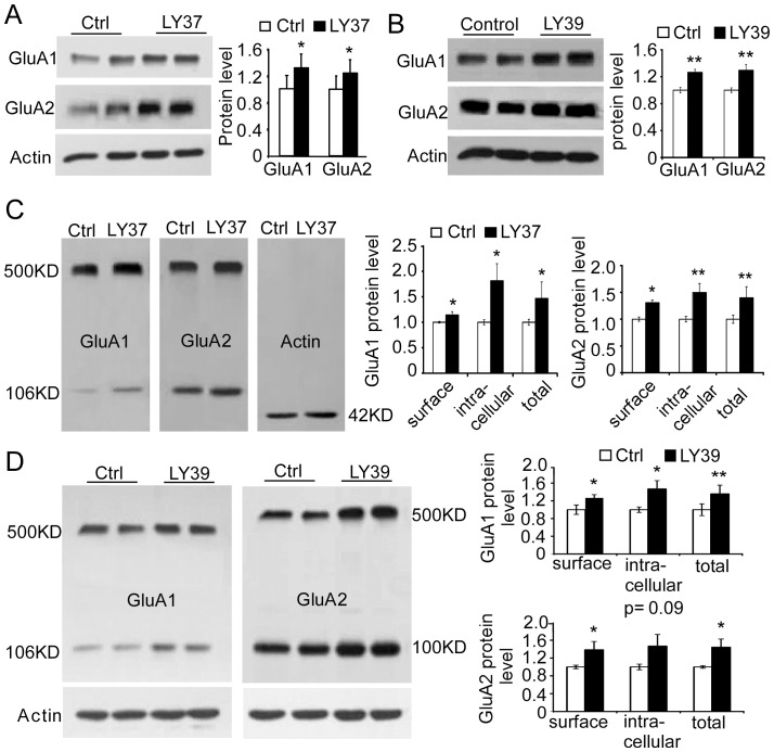 LY37 and selective mGluR2 agonist <t>LY395756</t> (LY39) increased both surface and total protein level of GluA1 and GluA2 subunits in the cultured prefrontal neurons. (A and B) Treatment with LY37 or LY395756 significantly increased the total protein levels of both GluA1 and GluA2 subunits ( *p