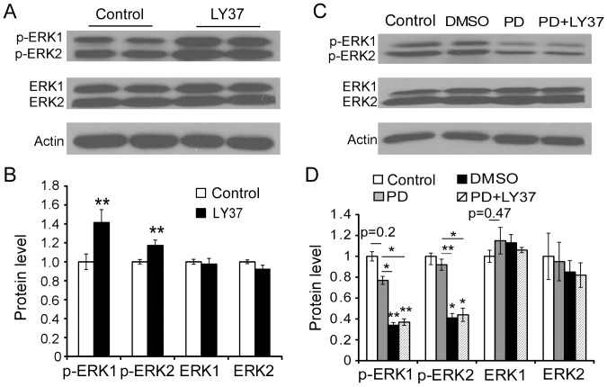 LY37 treatment significantly increased the phosphorylation of ERK1/2 activity in the cultured PFC neurons, and this was prevented by the ERK inhibitor PD98059 (PD). (A) Representative images of ERK1/2 and p-ERK1/2 expression in response to LY37, PD (50 µM for 1 h) or PD followed by LY37 treatment (1 µM for 1 h), DMSO as PD's vehicle. (B) LY37 administration did not induce clear changes in either ERK1 or ERK2 total protein level (p > 0.05). However, it significantly increased the expression of both p-ERK1 and p-ERK2 ratios (**p