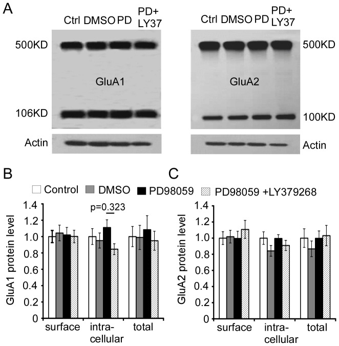 ERK1/2 inhibitor PD98059 prevents the increases in surface levels of both GluA1 and GluA2 subunits induced by LY37 treatment in cultured PFC neurons. (A) Representative images of drug treatment. Primary cultured PFC neurons at 17–18 DIV were exposed to DMSO (0.02%), LY37 (1 µM), ERK inhibitor PD98059 (50 µM), or PD98059 (50 µM) + LY37 (1 µM) for 1 h at 37°C, respectively. After treatments, the cells were incubated in BS 3 cross-linker and the protein levels on the membrane surface and intracellular components were then separated by Western blot. (B and C) Summary bar graphs show the protein levels of surface and intracellular GluA1 and GluA2 subunits in different treatments groups compared to vehicle controls. Neither ERK1/2 inhibitor PD98059 nor PD98059+LY37 treatment induced changes in GluA1 and GluA2 surface expression (p > 0.05 for all comparisons).
