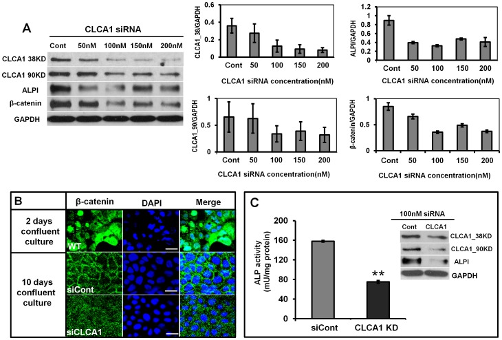 CLCA1 is required for spontaneous differentiation in Caco-2 cells. A. Caco-2 cells were transfected transiently with 0, 50, 100, 150 and 200 nM siRNA clca1 and blotted for CLCA1. siRNA clca1 at 100 nM or above effectively inhibited CLCA1 and downregulated expression of ALPI and β-catenin. B. Immunofluorescent staining showed the expression of β-catenin in confluent cultures of Caco-2 cells. β-catenin was located mainly in the nucleus of the cells at early stages of culture (2 days). After 10 days culture, β-catenin had translocated to the cell membrane. Knockdown of CLCA1 reduced distribution of β-catenin on the membrane. C. Caco-2 cells were treated with either siRNA negative control or siRNA clca1 and then were cultured for 72 hours. Cell lysates were collected for detection of ALP activity using the Alkaline Phosphatase Detection Kit or for ALP expression by western blot. The result shows that both ALP activity and expression were reduced significantly in CLCA1 knockdown cells. The histograms in A showed the relative intensity of CLCA1 38 KD, 90 KD, ALPI and β-catenin expressed as a ratio with respect to the GAPDH control. All results were from three independent experiments. ** p