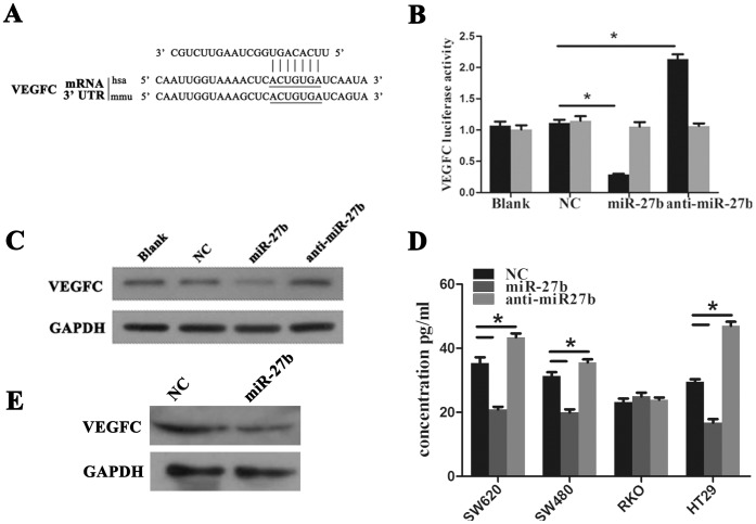 Vascular endothelial growth factor C (VEGFC) is a novel target of miR-27b in colorectal cancer (CRC). (A) VEGFC is predicted as a novel target of miR-27b. (B) <t>293T</t> cells were co-transfected with empty pmirGLO Dual-Luciferase reporter plasmids or VEGFC 3′UTR firefly luciferase reporter plasmids and pRL-TK-luciferase plasmids, together with miR-27b mimics or anti-miR-27b. After 48 h, firefly luciferase activity was measured and normalized to that of Renilla luciferase. (C) CRC cells were transfected with NC, miR-27b or anti-miR-27b mimics and expression of VEGFC was detected by western blotting. (D) CRC cells were transfected with NC, miR-27b or anti-miR-27b mimics and VEGFC in culture medium was detected by ELISA. (E) VEGFC protein in xenografts from negative control (NC) and miR-27b mimics was detected by western blotting. Error bars represent the means ± SEM, * P