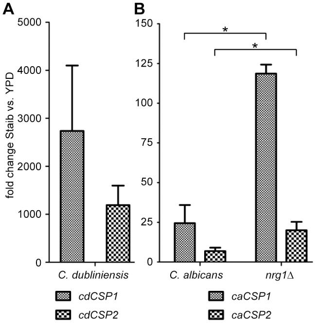 Induced expression levels of genes CSP1 and CSP2 during chlamydospore formation. C. dubliniensis Wü284, C. albicans SC5314 and the C. albicans nrg1 Δ mutant were grown for 28 h in Staib medium and YPD medium, respectively, before total RNA was isolated. (A) qRT-PCR measurements detected a strong upregulation of cdCSP1 and cdCSP2 gene expression levels in C. dubliniensis during growth in Staib versus YPD medium. (B) Similarly, the C. albicans homologues caCSP1 and caCSP2 were found to be upregulated in the chlamydospore producing C. albicans nrg1 Δ mutant stronger than in C. albicans wild-type yeast cells. The results are the means ±SD from three biological replicates, '*' indicates that the detected differences were significant ( P