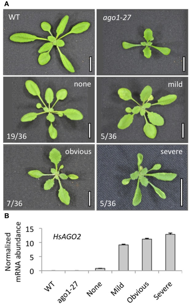 """Expression of HsAGO2 generates morphological defects in Arabidopsis. (A) 22-day old primary transformants for the 35S:HsAGO2 construct were categorized based on the apparent severity of their morphological phenotypes. Increased leaf serration distinguished """"mild"""" phenotypes from wild type (WT), """"obvious"""" phenotypes were characterized by broadened leaves, serration, accelerated senescence and some upward leaf-curl, while phenotypes considered """"severe"""" were distinguished by strong upward leaf-curl in addition. Scale bars represent 10 mm. (B) The abundances of HsAGO2 mRNA was measured in total RNA from sample pools composed of 4–8 transformants, 22-days old, from each morphological category. Wild type (WT) and ago1–27 plants, grown in parallel, were included as controls. All measurements are normalized to CYCLOPHILIN mRNA. Data is averaged from three technical <t>cDNA</t> replicates, each of which comprised triplicate measurements, and error bars depict standard error of the mean."""