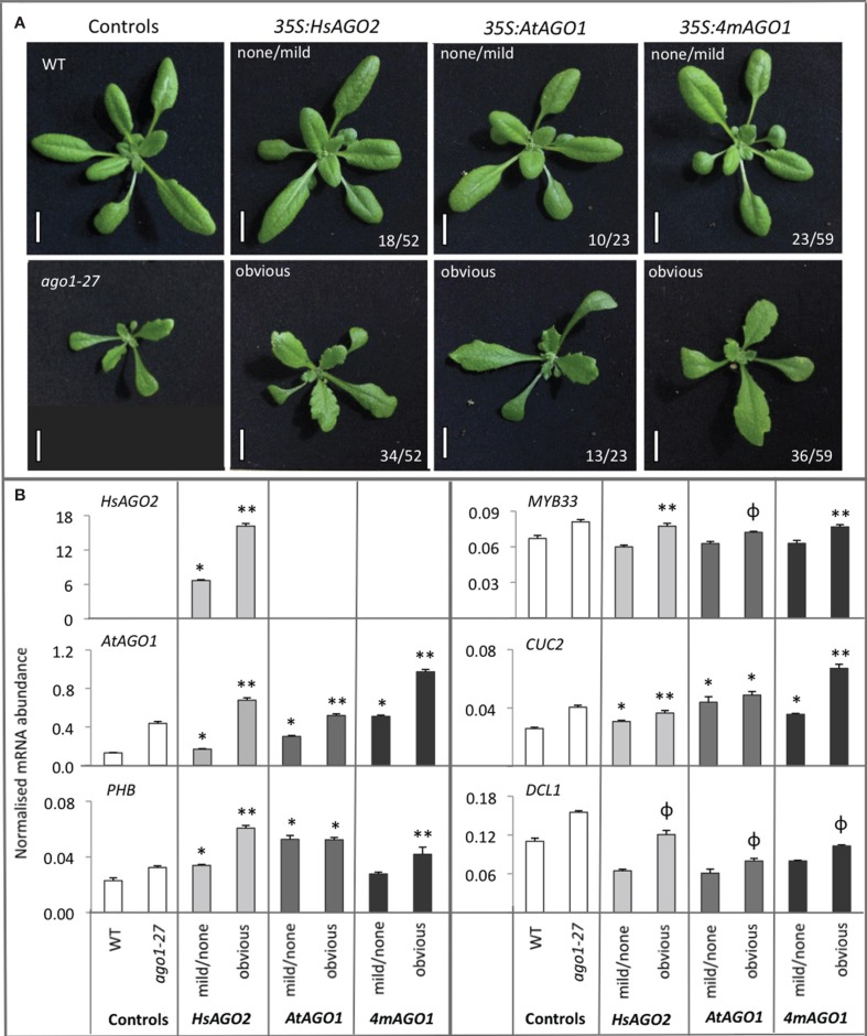 """Overexpression of HsAGO2 or AtAGO1 results in similar morphological and molecular phenotypes. (A) 24-day old primary transformants for the 35S:HsAGO2 , 35S:AtAGO1 , and 35S:4mAGO1 constructs, grown in parallel, were categorized as exhibiting an obvious abnormal morphological phenotype, characterized by broad, flattened, serrated leaves, or no/mild abnormal phenotype. Wild type (WT) and ago1–27 plants were grown in parallel as comparators. Scale bars represent 10 mm. (B) The abundances of HsAGO2 mRNA and un-cleaved mRNA for AtAGO1, PHB, MYB33 , CUC2 , and DCL1 were measured in total RNA from sample pools composed of 4–8 transformants, 24-days old, from each morphological category for each construct. Wild type (WT) and ago1–27 plants, grown in parallel, were included as controls. Measurements of """"un-cleaved"""" mRNA are obtained by using a qRT-PCR amplicon spanning the cleavage site for each transcript, such that cleaved mRNA does not contribute to the recorded abundance. All measurements are normalized to CYCLOPHILIN mRNA. Data is averaged from two technical cDNA replicates, each of which comprised triplicate measurements, and error bars depict standard error of the mean. Values marked with * are significantly larger ( P"""