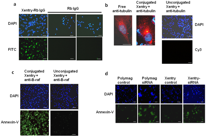 Xentry-mediated delivery of antibody and siRNA cargoes into cells. (a) Uptake of Xentry-conjugated and unconjugated FITC-labelled rabbit IgG by HepG2 cells. Cell nuclei were stained blue with DAPI. (b) Representative cell showing staining of tubulin by a Cy3-labelled anti-β-tubulin antibody delivered to HepG2 cells by Xentry. HepG2 cells were incubated with the Xentry- anti-β-tubulin antibody conjugate for 1 h, washed, then incubated and photographed 24 h later. For comparison, a representative fixed and permeabilized cell is shown which has been stained by the free anti-β-tubulin antibody. The unconjugated anti-β-tubulin antibody could not penetrate and stain non-permeabilized HepG2 cells. (c) The abilities of a Xentry-conjugated and unconjugated anti-B-raf antibody to induce the apoptosis of WM-266-4 melanoma cells, as evidenced by staining of cells with annexin-V fluos (green). (d) A Xentry-KALA fusion peptide delivers an siRNA directed against B-raf transcripts into WM-266-4 melanoma cells, causing cell apoptosis as evidenced by staining of cells with annexin-V fluos (green). For comparison, the anti-B-raf siRNA was transfected into cells using the PolyMag agent. The siRNA was omitted from controls. Scale bar, 50 μm.