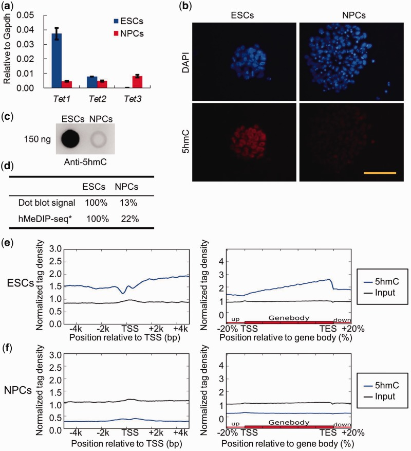Differential Tet1/2/3 gene expression and global 5hmC levels in ESCs and NPCs. ( a ) RT-qPCR analysis of Tet1 , Tet2 and Tet3 mRNA levels in ESCs and NPCs (mean values ± SD, n = 3). ( b ) Immunofluorescence analysis of 5hmC levels in ESCs and NPCs. Bar: 50 μm. ( c ) Dot blot analysis of the global 5hmC levels in the gDNA of ESCs and ESC-derived NPCs. One hundred fifty nanogram gDNA for each dot. ( d ) The relative 5hmC signal of dot blot and comparative hMeDIP-seq in ESCs and NPCs. *The ratio of hMeDIP/Input reads numbers in ESCs was set as 100%. ( e ) Distribution of 5hmC in TSS ± 5 kb and gene body regions in ESCs. ( f ) Distribution of 5hmC in TSS ± 5 kb and gene body regions in NPCs.