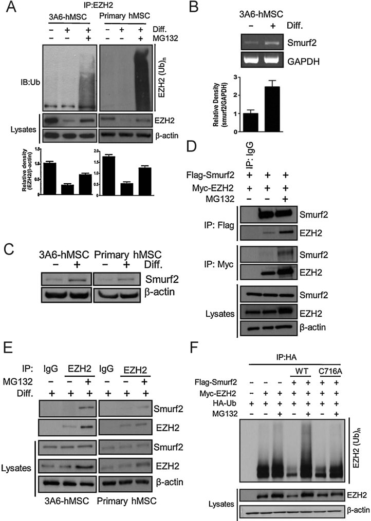 Degradation of EZH2 via the ubiquitin-proteasome-dependent degradation pathway requires Smurf2. Source data is available for this figure in the Supporting Information. A. 3A6-hMSCs were treated with or without NIM and/or proteasome inhibitor MG132 (5 µM) for 5 days. EZH2 was then immunoprecipitated by an EZH2 antibody and blotted with an anti-ubiquitin antibody (immunoblot, top). The plots (bottom) represent the relative density of EZH2 determined by scanning densitometric tracings. Error bars represent the SEM from three independent experiments ( n = 3). B. RT-PCR analysis of Smurf2 mRNA expression during neuron differentiation on Day 1 of 3A6-hMSCs (RT-PCR, top). The plot (bottom) represents the relative density of Smurf2, determined by scanning densitometric tracings. Error bars represent the SEM from three independent experiments ( n = 3). C. Immunoblotting analysis of Smurf2 protein levels during neuron differentiation on Day 1 of both 3A6 and primary hMSCs. D. Ectopic expression of Flag-Smurf2 and Myc-EZH2 in HEK 293 cells with or without MG132 and co-immunoprecipitation of Smurf2 and EZH2. E. Co-immunoprecipitation of endogenous Smurf2 and EZH2 in 3A6-hMSCs treated with NIM for 1 day with or without MG132. F. In vivo ubiquitination assay. Ectopic expression of HA-Ubiquitin (Ub), Myc-EZH2, Flag-Smurf2, or Flag-Smurf2-C716A (catalytically inactive mutant of Smurf2) in HEK 293 cells with or without MG132. Polyubiquitinated EZH2 was detected by immunoprecipitation of HA-tagged ubiquitin followed by immunoblotting for Myc-EZH2.