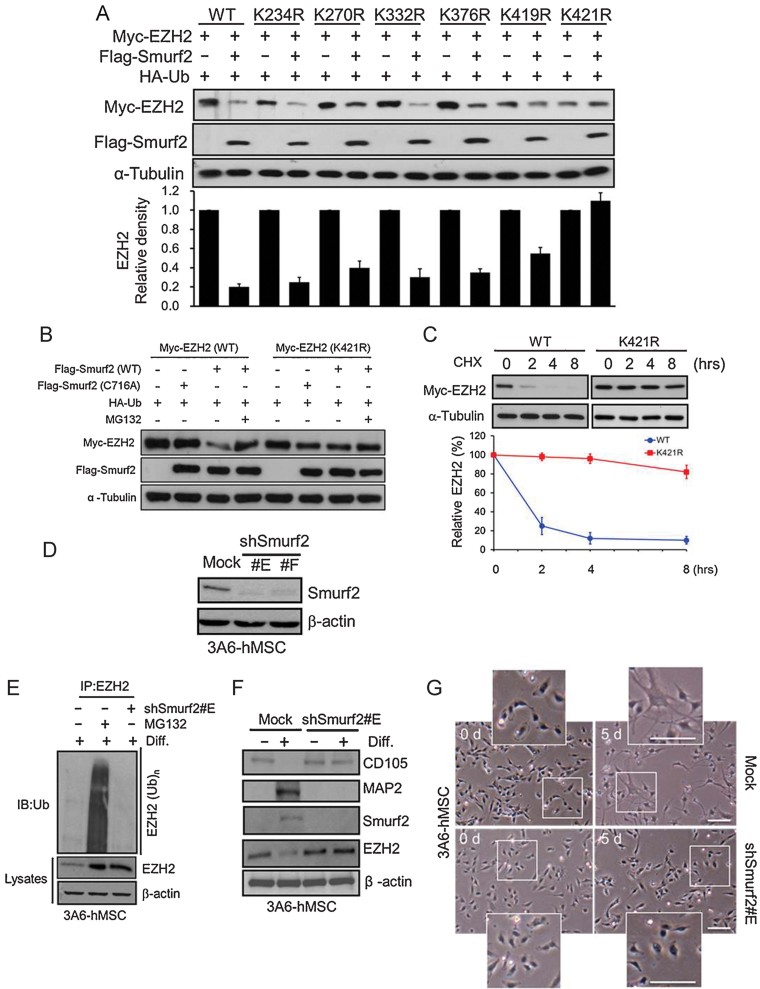 K421 of EZH2 is critical for Smurf2-mediated EZH2 degradation, which is required for neuron differentiation. Source data is available for this figure in the Supporting Information. A. HEK 293 cells were cotransfected wild-type or K to R mutants of Myc-EZH2 with HA-Ub with or without Flag-Smurf2 plasmids for 24 h. Total cell lysate was extracted, and expression of exogenous Myc-EZH2 and Flag-Smurf2 was examined (immunoblot, top). The plot (bottom) represents the relative density of EZH2 (wild-type and mutants) determined by scanning densitometric tracings. Error bars represent the SEM from three independent experiments ( n = 3). B. Expression of ectopic Myc-EZH2 (wild-type or K421R) in the absence or presence of Flag-Smurf2 (wild-type or C716A) with or without MG132 in HEK 293 cells. C. HEK 293 cells were transfected with Myc-EZH2 (wild-type or K421R) plasmids. Each transfectant was treated with 50 µM cycloheximide for the indicated times. The levels of indicated proteins were determined by immunoblotting (top). The percentage of EZH2 degradation was calculated by the relative level of Myc-EZH2 (WT: red and K421R: blue) normalized to α-tubulin (bottom). Error bars represent the SEM from three independent experiments ( n = 3). D. Immunoblotting of Smurf2 protein levels of 3A6-hMSCs with Smurf2 knockdown (shSmurf2 #E and #F). E. 3A6-hMSCs stably expressing Smurf2 shRNA (shSmurf2 #E) or pretreated with MG132 were treated with NIM for 5 days. EZH2 was then immunoprecipitated by an EZH2 antibody and blotted with an anti-ubiquitin antibody. F. The total cell lysates with or without induction of neuron differentiation in 3A6-hMSCs for 5 days and cells stably expressing Smurf2 shRNA (shSmurf2 #E) at the neuron stage were immunoblotted with the indicated antibodies. Changes in the MSC (CD105) and the neuron (MAP2) markers were analysed by immunoblotting. G. Cell morphology of NIM-treated 3A6-hMSCs with or without stably expressing shSmurf2 (shSmurf2 #E) at indicated times dur
