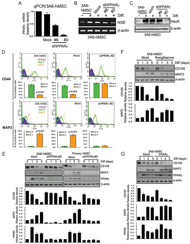 PPARγ accelerates neuron differentiation of hMSCs. Source data is available for this figure in the Supporting Information. A. qPCR analysis of lentiviral-mediated shRNA interference targeting PPARγ was used to allow for the generation of hMSC cells stably expressing shPPARγ (shPPARγ #B and #D). shLuc against luciferase was used as a negative control (mock). Error bars represent the SEM from three independent experiments ( n = 3). B. RT-PCR analysis of NSE (neuron marker) mRNA levels with or without PPARγ shRNAs (shPPARγ #B and #D) in 3A6-hMSCs after neuron differentiation. β-actin was used as an internal control. shLuc against luciferase was used as a negative control (mock). C. Immunoblotting of NeuN (neuron marker) protein expression with or without PPARγ shRNAs (shPPARγ #B and #D) in 3A6-hMSCs after neuron differentiation. D. Flow cytometric analysis of MSC marker (CD44) and neuron marker (MAP2) in 3A6-hMSCs with or without PPARγ knockdown at Day 0 and Day 5 after differentiation. The plots show the percentage of cells in undifferentiated (Day 0) and neuronal differentiated (Day 5) hMSCs (bottom). shLuc against luciferase was used as a negative control (mock). Error bars represent the SEM from three independent experiments. Significant p values are indicated ( n = 3, Student's t -test). E. The effect of PPARγ knockdown during neuron differentiation of 3A6-hMSCs and human primary MSCs (immunoblot, top). The plots (bottom) represent the relative density of MSC marker (CD105), neuron marker (MAP2) and PPARγ determined by scanning densitometric tracings. Error bars represent the SEM from three independent experiments ( n = 3). F. The effect of the PPARγ agonist rosiglitazone during neuron differentiation of 3A6-hMSCs (immunoblot, top). The plots (bottom) represent the relative density of MSC marker (CD105) and neuron marker (MAP2) determined by scanning densitometric tracings. Error bars represent the SEM from three independent experiments ( n = 3). G. Immunoblot ana