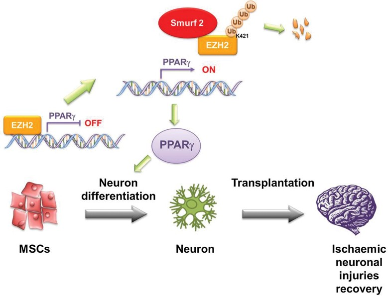 Smurf2-mediated degradation of EZH2 induces neuron differentiation of hMSCs. In proliferating hMSCs, EZH2 binds to the PPARγ promoter to repress neuron differentiation. After induction to neuron differentiation, EZH2 dissociates from the PPARγ promoter and is downregulated through Smurf2-mediated degradation to enhance gene expression of PPARγ to promote hMSC neuron differentiation.