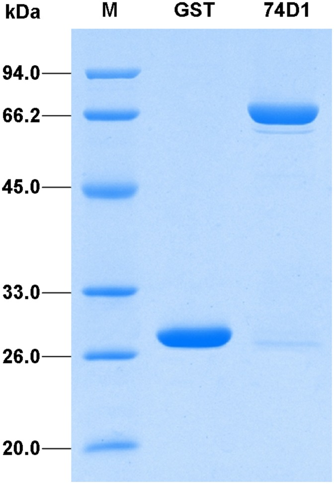 SDS-PAGE analysis of the recombinant GST-UGT74D1 fusion protein. Proteins were purified from E.coli , analyzed on a 12% (w/v) polyacrylamide gel and visualized with Coomassie Brilliant Blue staining. M: protein molecular weight marker; GST: glutathione-s-transferase; 74D1: fusion protein.