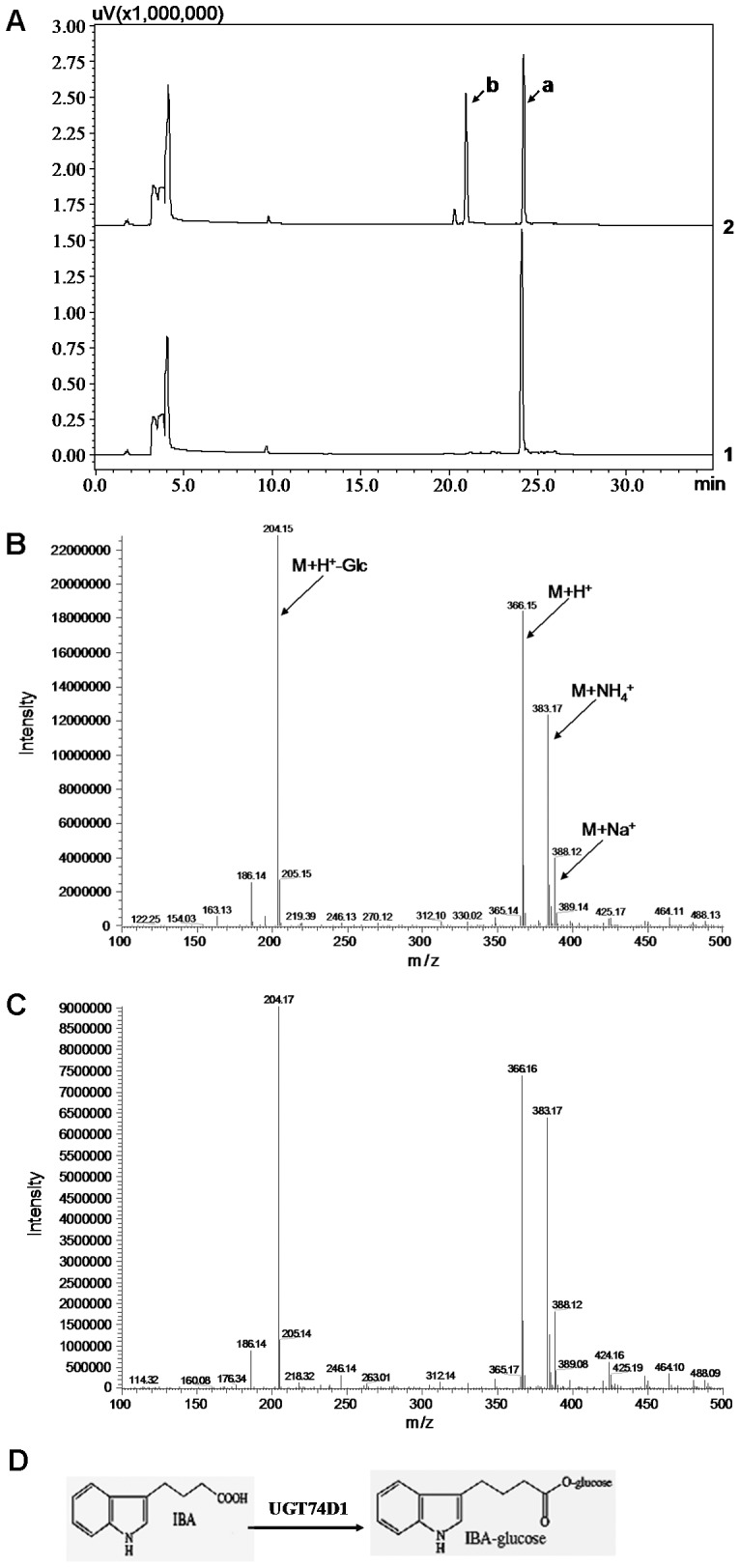 """HPLC and LC-MS analysis of reaction product from IBA. (A) HPLC analysis. 1: the reaction was added with GST protein as control. 2: the reaction was added with UGT74D1 fusion protein and a new peak (peak b) was produced. Peak """"a"""" represents the substrate IBA. (B) LC-MS analysis of peak b. (C) LC-MS analysis of IBA glucose conjugates produced by the catalysis of UGT74E2 which was used as positive control in this research. (D) Proposed enzymes and biosynthetic pathway for the synthesis of IBA-glucose ester from the aglycone IBA."""