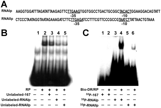 Exchange of RNA polymerase from DR region to RNAIp and RNAIIp . (A) Sequences of RNAIp and RNAIIp probes. (B) Purified RNA polymerase (RP) was added to 32 P-labeled-DR probe (Fig. 7A). Unlabeled RNAIIp and RNAIp probes, which contained sequences shown in (A), were used to analyze exchange of RNA polymerase from DR region to RNAIp and RNAIIp . (C) DNA-protein complexes that contained a biotinylated-DR probe (Bio-DR) and RNA polymerase (Bio-DR/RP) were captured using streptavidin-coated magnetic beads. After unbound RNA polymerase had been removed, 32 P-labeled RNAIIp and RNAIp probes were added to RNA polymerase-DR complex to analyze exchange of RNA polymerase from repeats to RNAIp and RNAIIp . Probe 167 was used as a negative control.