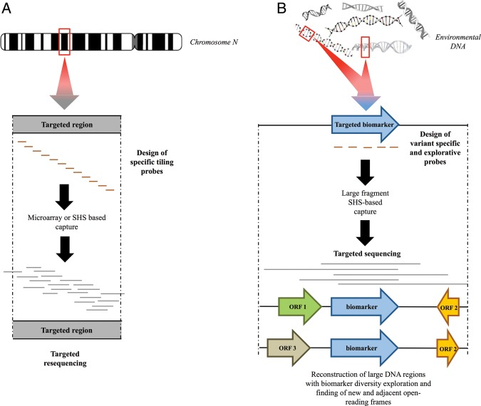 Schematic comparison of targeted capture methods applied to classical direct selection method of individual genomic loci (human for instance) (A) and our new approach for metagenomics targeting (B). The enrichment through microarray and the SHS of large genomic regions within complex eukaryotic genomes, as described in A, uses specific tiling probes to target resequencing genomic loci for copy number variation (CNV) and single nucleotide polymorphism detection. Our SHS method (B) uses the design of specific variants and explorative probes across a targeted biomarker to specifically enrich large DNA fragments from complex metagenomic DNA. Captured DNA fragments are sequenced to explore biomarker diversity and adjacent flanking regions. The red rectangles indicate the targeted regions.