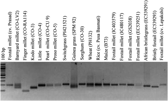 Representative gel showing amplification profiles of one microsatellite marker SiGMS 3261 and its fragment length polymorphism among foxtail millet and related species. The <t>amplicons</t> are resolved in 2% agarose gel along with 100 bp DNA size standard.
