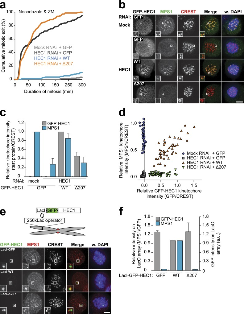 The microtubule-binding domain of HEC1 directs MPS1 localization and function. (A) Time-lapse analysis of duration of mitotic arrest in nocodazole- and ZM447439 (ZM)-treated Flp-in HeLa cells transfected with mock or HEC1 siRNA and expressing the indicated GFP-HEC1 proteins. Data indicate cumulative percentages of cells (from a total of ≥125 cells per treatment) that exit mitosis (scored as cell flattening) at the indicated times after NEB and are representative of three independent experiments. (b–d) Representative images (b) and quantification (c and d) of immunolocalization of MPS1, the indicated GFP-HEC1 proteins, and centromeres (CREST) in nocodazole-treated Flp-in HeLa cells transfected with mock or HEC1 siRNA. DNA (DAPI) is shown in blue. Insets show magnifications of the boxed regions. Graph in c displays total kinetochore intensities (±SEM) of the indicated proteins relative to centromeres (CREST). Data are from a total of ≥103 cells per treatment from two experiments. Ratios are set to 1 for mock RNAi–treated cells (MPS1) and for GFP-HEC1 WT –expressing cells (GFP-HEC1). Graph in d displays total kinetochore intensities of the indicated proteins relative to centromeres (CREST) for all cells of a single experiment. (e and f) Representative images (e) and quantification (f) of immunolocalization of MPS1, the indicated LacI-GFP-HEC1 proteins, and centromeres (CREST) in nocodazole-treated U2OS-LacO cells. DNA (DAPI) is shown in blue. Insets show magnifications of the boxed regions. Graph in f displays total intensities (±SEM) of MPS1 at LacO arrays relative to LacI-GFP-HEC1 (GFP) and total intensities of LacI-GFP-HEC1. Data are from a total of ≥17 cells from two experiments. Ratios for LacI-GFP-HEC1 WT –expressing cells are set to 1. Bars, 5 µm. WT, wild type; a.u., arbitrary unit.