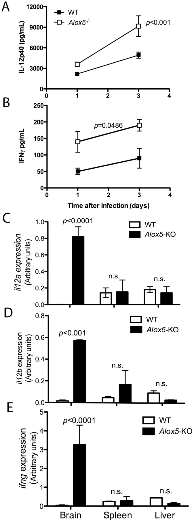 Enhanced cytokine expression during P. berghei ANKA infection in 5-LO-deficient mice. C57Bl/6 WT and Alox5 −/− ( n = 4 mice/group) mice were infected i.p. with P. berghei ANKA strain. At 1 and 3 days after infection, animals were bled and serum levels of IL-12p40 ( A ) and IFN- γ ( B ) were determined by ELISA. Five days after infection, mice were sacrificed and brains, livers and spleens harvested. Tissues were homogenized, total RNA extracted and reverse transcripted for real-time RT-PCR determination of il12a ( C ), il12b ( D ) and ifng ( E ) expression. Data shown are representative of one out of three independent experiments performed. Statistical differences were determined using Mann Whitney test.