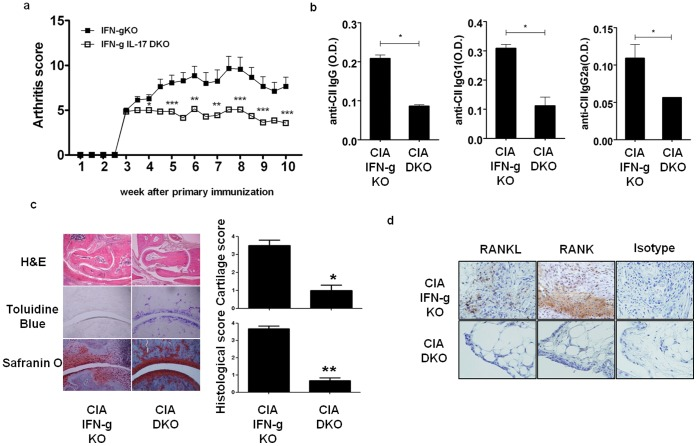 <t>IFN-γ/IL-17</t> double knockout mice did not develop arthritis. (a) Comparison of arthritis score during 10 weeks after 1 st immunization. (b) Serum was collected at 5 th week after CIA induction, the level of anti CII IgG, IgG1, IgG2 was determined by ELISA. (c) Joint histology of CIA (IFN-γ KO, n = 14) and CIA (IFN-γIL-17 DKO, n = 14) at 10 th week after 1 st immunization. Joint tissue sections were stained with Hematoxylin and Eosin, Toluidine Blue, Safranin O. (d) Immunohistochemistry. RANKL or RANK positive cells were not seen in CIA (IFN-γ/IL-17 DKO) joint section. Original magnification,200x. Mann-Whitney U test (b) used. Values are presented as the mean ± standard deviation. *, p