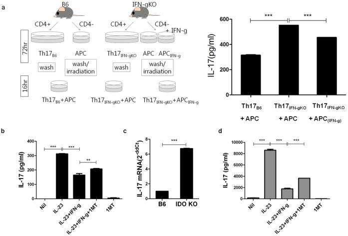 Suppression of IL-17 by IFN- γ is associated with IDO. (a) CD4 + T cells isolated from wild type (WT) C57BL/6 (B6) mice and IFN-γ knock out (KO) B6 mice. The cells were cultured in Th17-polarizing conditions (anti CD3 mAb, anti CD28 mAb, anti IFN-γAb, anti IL-4 Ab, TGF-β, IL-6). Non-CD4 cells were cultured with media only or 100 ng/ml of recombinant IFN-γ. After 72hours, cells were washed and only APCs were irradiated at 3000 rad. After Th17 cells and APC/APC IFN-γ were co-cultured (1∶1) for 16 hrs, the culture supernatant was measured for IL-17 ELISA (right). (b) Splenocytes derived from IFN-γ KO mice were cultured solely or with combined condition with 10 ng/ml of IL-23, 50 ng/ml of IFN-γ, 100 µM 1-MT for 72 hrs. IFN-γ and 1-MT was pretreated. (c) IL-17 mRNA expression of Th17 polarized cells derived from B6 and IDO KO mice splenocyte. (d) Splenocytes derived from IL-1Ra KO mice were cultured solely or with combined condition with 10 ng/ml of IL-23, 50 ng/ml of IFN-γ, 100 µM 1-MT for 72 hrs. IFN-γ and 1-MT was pretreated. ANOVA with post hoc analysis (d,f) was used. Values are presented as the mean ± standard deviation of three independent experiments. *, p