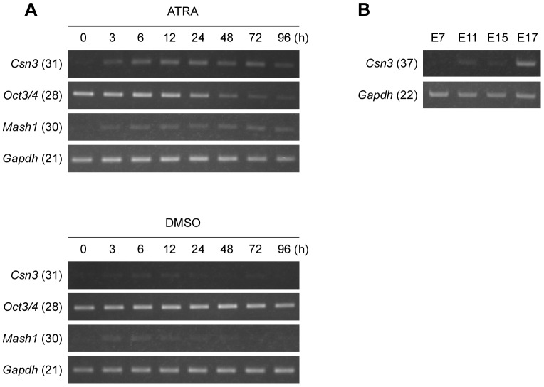 Expression of Csn3 in mouse ES cells and in mouse embryonic development. ( A ) Time course RT-PCR analysis of Csn3 mRNA expression in mouse ES cells (EB5). Total RNA was extracted from EB5 cells treated with ATRA (upper panel) or DMSO vehicle (lower panel) after 0, 3, 6, 12, 24, 48, 72 or 96 h. RT-PCR was performed using gene-specific primers as described in Materials and Methods. Expression of Oct3/4 and Mash1 were also examined to show the differentiating status. Gapdh was used as a loading control. PCR products were then subjected to electrophoresis through a 1.5% agarose gel and stained with ethidium bromide. Numbers in parentheses next to the gene symbols indicate the number of PCR cycles. ( B ) RT-PCR analysis of Csn3 mRNA expression in mouse embryos at different developmental stages (E7–E17). The amplified PCR products from the mouse embryos were resolved in 1.5% agarose gel and stained with ethidium bromide. Gapdh was used as a loading control.