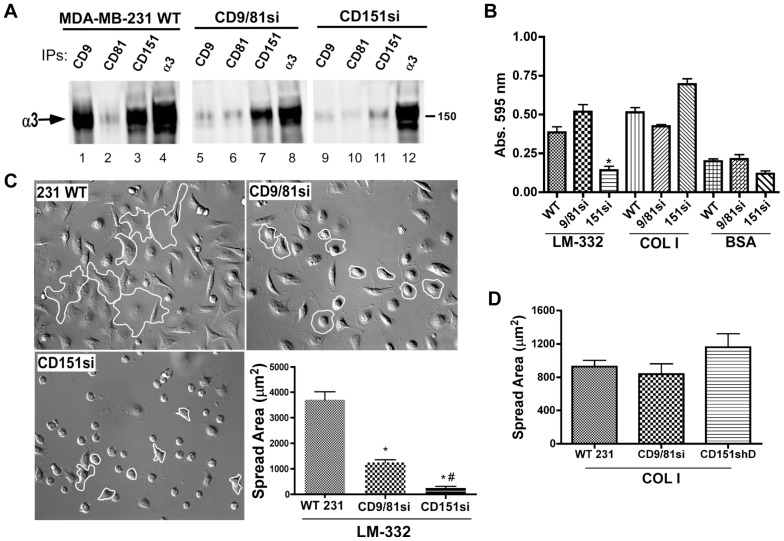CD151 promotes α3 integrin-CD9 association, and is required for normal adhesion and initial cell spreading on LM-332. ( A ) MDA-MB-231 wild type, CD9/CD81si, and CD151si cells were lysed in 1% Brij 96V/Brij 99 (a 1∶1 mixture of both detergents), and CD9, CD81, CD151, or α3 integrin were immunoprecipitated (IPs), followed by blotting for the α3 integrin subunit. Note that α3 integrin-CD9 association is almost completely abolished in the CD151-silenced cells, but that α3-CD151 association is maintained in the CD9/CD81-silenced cells. ( B ) Wild type, CD9/CD81si, and CD151si MDA-MB-231 cells were plated in wells coated with LM-332, collagen I (COLI), or BSA for 30 min. Non-adherent cells were removed, and remaining cells were fixed and quantified by staining with crystal violet. Values are means ± s.e.m.; n = 4 wells/cell type. CD151si cells adhered less well than wild type or CD9/CD81si cells to LM-332 (*P