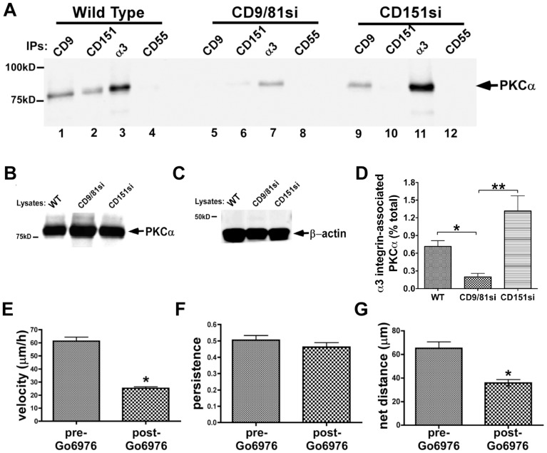 CD9/CD81 promotes PKCα-α3β1 integrin association, and PKCα promotes α3β1-dependent MDA-MB-231 cell motility. ( A ) MDA-MB-231 wild type, CD9/CD81si, and CD151si cells were treated with 100 nM PMA for 30 min, then lysed in 1% Brij 99 detergent followed by immunoprecipitation of CD9, CD151, α3 integrin, or CD55 and immunoblotting to detect PKCα. ( B,C ) Lysates of each cell type were immunoblotted for PKCα and β-actin. ( D ) The fraction of total cellular α3 integrin associated with PKCα in each cell type was estimated by LiCOR infrared fluorescence blot imaging, as described in Materials and Methods . Bars indicate mean ± S.E.M. from at least 3 different blots/cell type. CD9/CD81si cells showed a significant reduction in α3 integrin-associated PKCα compared to the other two cell types (*P