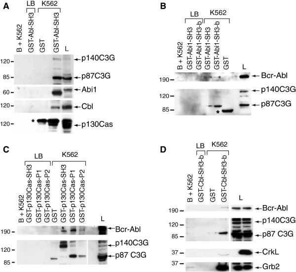 Bcr-Abl and C3G interact with Cbl, Abi1 and p130Cas. (A) Whole cell extracts from K562 were subjected to pull-down assays using GST-Abl-SH3 construct. The presence of C3G, Abi1, Cbl and p130Cas in the complexes was detected by inmunoblotting with specific antibodies. Representative Western blots of pull-down assays in K562 lysates using (B) Abi1-SH3 and SH3-b domains, (C) p130Cas-SH3, P1 and P2 domains, and (D) Cbl-SH3-b domain fused to GST as baits. The immunoblots were developed with specific antibodies against the indicated proteins. Glutathione-sepharose beads with whole cell lysate (B + K562), lysis buffer with the corresponding GST-fused proteins (LB) and <t>pGEX-4T-1</t> empty plasmid with K562 whole cell lysate (GST) were used as negative controls. L: whole cell lysate (40 μg). The asterisks indicate unspecific bands.