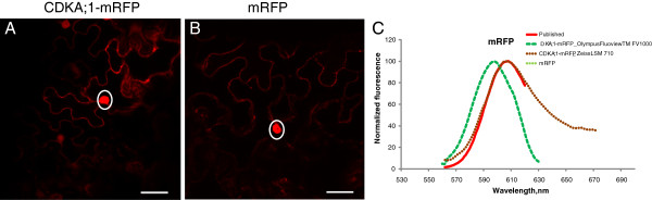 The fluorescent emission spectra are not affected by the protein fusion. mRFP fused to CDKA;1 ( A ) and free mRFP ( B ) were transiently expressed in tobacco and the fluorescence emission spectra were measured in the nucleus (marked by a ring) with Olympus <t>FluoView™</t> <t>FV1000</t> and Zeiss LSM 710 ( C ). Scale bars, 30 μm.