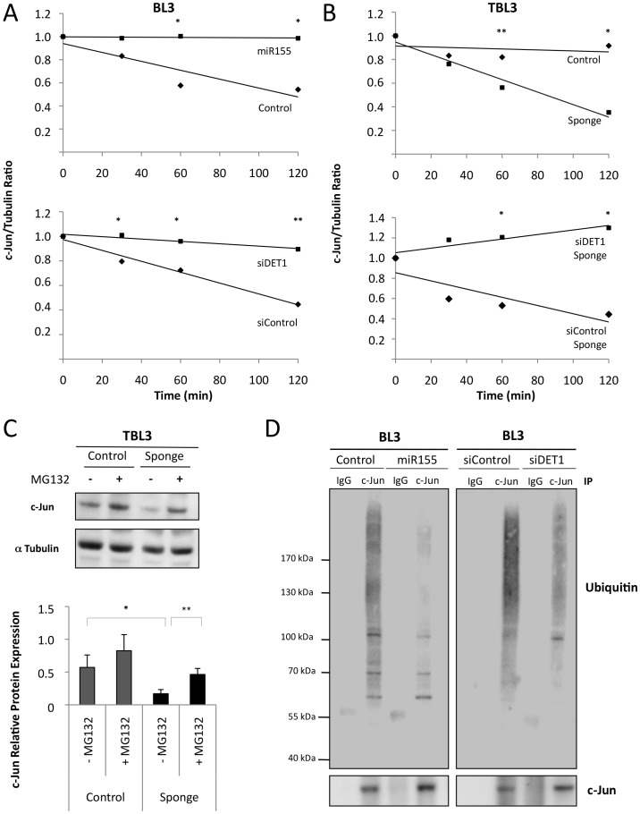 miR-155 stabilized c-Jun by inhibiting its proteasomal degradation. (A) Overexpression of miR-155 or depletion of DET1 in BL3 cells increased the half-life of endogenous c-Jun protein. BL3 cells transiently expressing miR-155 or siDET1 were treated with cycloheximide for the indicated times, followed by immunoblot analysis with a c-Jun antibody and semi-quantification with an αTubulin antibody as a loading control. Relative c-Jun protein levels at time 0 were set as 1 (average ± sd, n = 3). (B) Inhibition by the miR-155 Sponge in TBL3 cells decreased the half-life of endogenous c-Jun. These effects were reversed by siRNA against DET1. TBL3 cells transiently expressing miR-155 Sponge +/− siDET1 were treated with cycloheximide for the indicated times, followed by immunoblot analysis with a c-Jun antibody and semiquantification with α-Tubulin as a loading control. Relative c-Jun levels at time 0 were set as 1 (average ± sd, n = 3). (C) Effect of the miR-155 Sponge on c-Jun protein levels was rescued by treating the proteasome inhibitor MG132. TBL3 cells transiently expressing the miR-155 Sponge were treated with MG132 for 3 h, followed by immunoblot analysis with the c-Jun antibody and semiquantification with α Tubulin as a loading control (average ± sd, n = 3). (D) Overexpression of miR-155 or depletion of DET1 in BL3 cells reduced c-Jun ubiquitination. Transfected cells were treated with MG132 for 3 h, followed by endogenous c-Jun immunoprecipitation and immunoblot analysis with indicated antibodies (average ± sd, n = 3). *p
