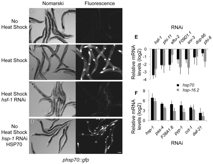 Genome-wide RNAi screen for HSR regulators. (A–D) Nomarski and fluorescent images corresponding to the phsp70::gfp reporter strain. (A) Control animals show little reporter expression and only faint autofluorescence of the intestine. (B) Reporter induction in animals exposed to heat shock at 33°C for 1 hour. (C) RNAi knockdown of hsf-1 decreases induction of the reporter by heat shock. (D) RNAi knockdown of hsp-1 causes constitutive induction of the reporter in the absence of heat shock. The scale bar corresponds to 100 µm. (E–F) Quantitation of the effects on endogenous hsp70 and hsp-16.2 genes using qRT-PCR. (E) HSR positive regulators normalized to the heat shocked empty vector control. (F) HSR negative regulators normalized to empty vector control. Averages are from at least three biological replicates and error bars represent SEM.