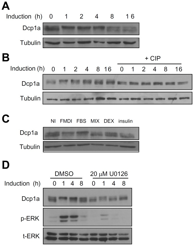 Dcp1a is phosphorylated during early differentiation of 3T3-L1 preadipocytes. (A) The expression profile of endogenous Dcp1a during the early differentiation of 3T3-L1 preadipocytes. Two days after reaching <t>confluency,</t> cultures of 3T3-L1 preadipocytes were induced to differentiate with an induction cocktail for 0, 1, 2, 4, 8, and 16 h. Cell extracts were isolated, and western blot analysis for detection of Dcp1a protein was conducted using 30 µg of each sample. Tubulin served as the protein input control. (B) CIP treatment. Confluent cultures of 3T3-L1 preadipocytes were induced to differentiate for 0–16 h, and cell extracts were isolated and treated with CIP. Western blot analysis was performed as in panel A. (C) Two days after reaching confluency, 3T3-L1 preadipocytes were induced to differentiate with individual components of the induction cocktail (FBS, MIX, DEX, insulin) or with the induction cocktail (FMDI) or non-induced control (NI). After incubating for 2 h, cell extracts were analyzed as in panel A. (D) Two days after reaching confluency, 3T3-L1 preadipocytes were pretreated with either DMSO (vehicle control) or 20 µM U0126 for 30 min before induction and then were induced with FMDI for 0, 1, 4, and 8 h in DMSO or U0126. Cell extracts were isolated for western blot analysis using anti-Dcp1a, anti-phospho-ERK (p-ERK), and anti-total ERK (t-ERK). All experiments were independently repeated three to five times with similar results, one of which is shown here.