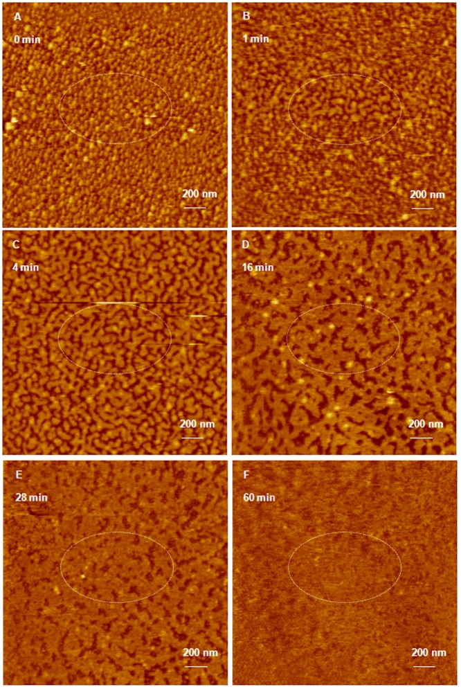 AFM image of G5 dendriplexes prepared for 20 minutes attacked by RNase enzyme. (A) AFM image of hexagonal G5 dendriplexes prepared by mixing of G5 dendrimers with 0.7 µg of anti-GAPDH siRNA at N/P ratio of 2/1 for 20 minutes at room temperature before loading onto the surface of freshly cleaved mica. AFM images of G5 dendriplexes after incubation with RNase V1 enzyme for 1–60 minutes (B–F) shows separation of the adsorbed dendriplexes and degradation of the complexed siRNA molecules (dark spots) that increased with the increase in incubation time. Scale bar in these images is 200 nm and the Z scale is 17 nm.