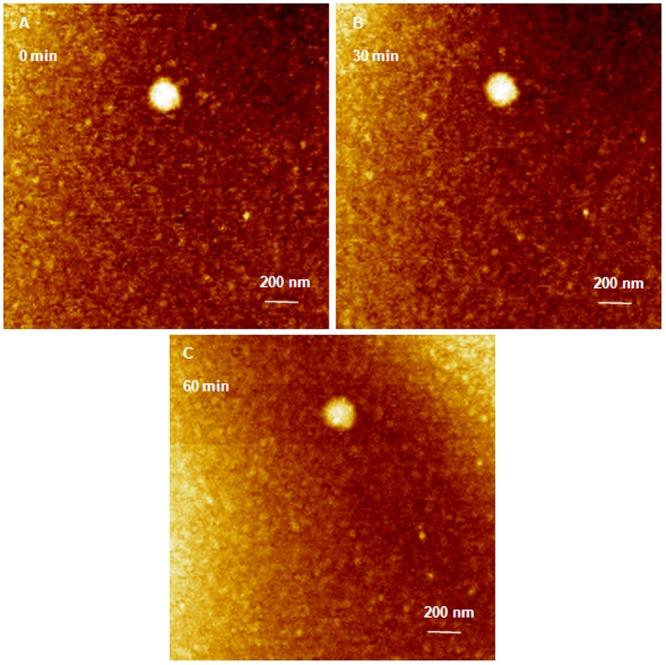 AFM image of G5 dendriplexes prepared for 24 hours attacked by RNase enzyme. (A) AFM image of G5 dendriplexes prepared by mixing of G5 dendrimers with 0.7 µg of anti-GAPDH siRNA at N/P ratio of 2/1 for 24 hours at room temperature before loading onto the surface of freshly cleaved mica. G5 dendriplexes remain intact upon incubating with RNase V1 enzyme for 30 (B) and 60 minutes (C). Scale bar in these AFM images is 140 nm and the Z scale is 5 nm.