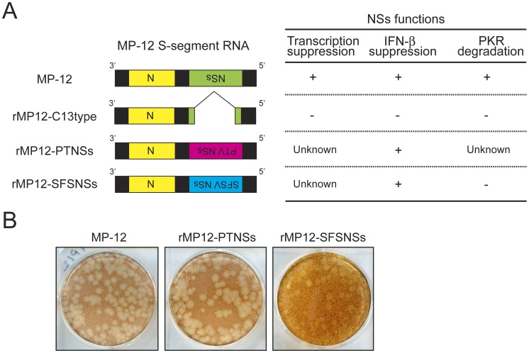 Generation of rMP12-PTNSs and rMP12-SFSNSs. (A) Schematics of MP-12 S-segments encoding mutation or foreign gene in place of MP-12 NSs. The rMP12-C13type (C13type) lacks 69% of the NSs ORF as described previously [44] . The rMP12-PTNSs, and rMP12-SFSNSs encode NSs of Punta Toro virus Adames strain and Sandfly fever Sicilian virus, respectively. The expected phenotype corresponding to each S-segment is also presented. (B) Plaque phenotypes of MP-12, rMP12-PTNSs and rMP12-SFSNSs at 4 dpi. Plaque assay was performed with VeroE6 cells overlaid with 0.6% noble agar and stained with Neutral red.